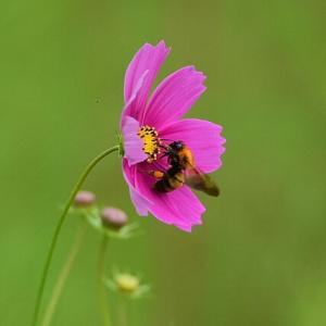 「働き者!」 いわき 高野花見山にて撮影! コスモスと蜜蜂