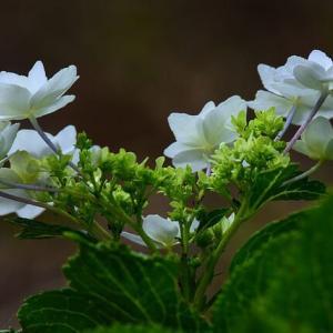 「まだ、咲いていた紫陽花」 いわき 高野花見山にて撮影!