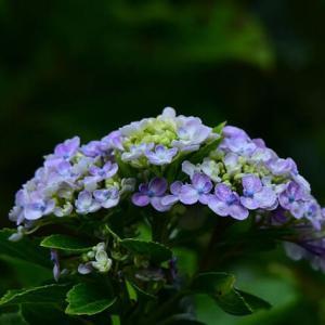 「まだ、咲いていた紫陽花②」 いわき 高野花見山にて撮影!