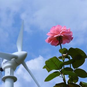 「風車と夏バラ」 いわき フラワーセンターにて撮影!