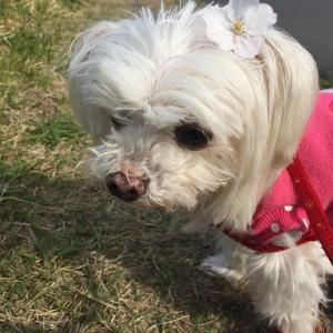 奇跡!愛犬マルチーズ16歳、脳梗塞からの完全復活(^^)/ #16