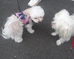 愛犬ナナコ(マルチーズ15歳)が脳梗塞 闘病記 !!#15 可愛いお友達(^^♪
