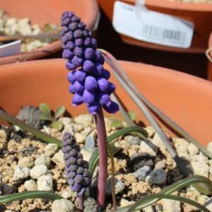 """""""Muscari armeniacum夢の紫色""""が夢でなくなりそう。"""