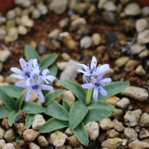 Hyacinthoides lingulata ciliolata MK.2984が満開