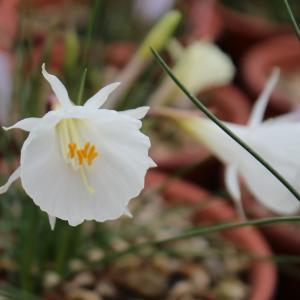 Narcissus 'Hatsuyuki (初雪)' 咲きました。