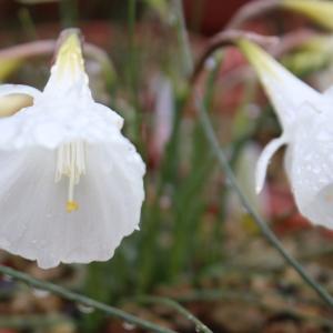 Narcissus 'Hatsuyuki (初雪)' ・その後(写真追加しました)