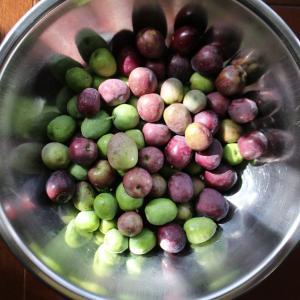 オリーブを収穫しました。