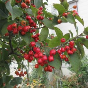 カマツカの赤い実など