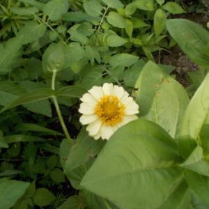 百日草、初花など