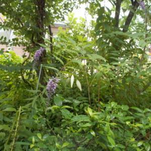 雨の中の花たち・完熟梅など