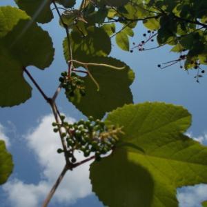 エビヅルの実、神目帚の花 など