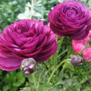 ギリギリセーフのお花見