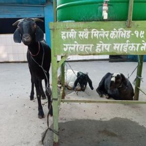 ネパール情報:ヤギさんHelloそしてGoodby