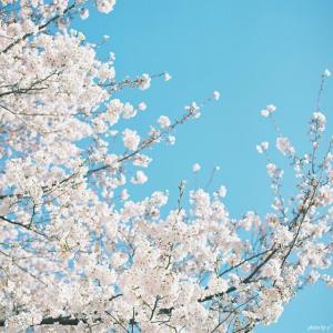 春の日、桜の日