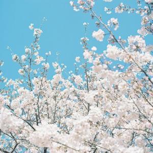 春の日、桜の日。