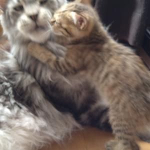 体重差10倍!~巨猫と子猫【前編】