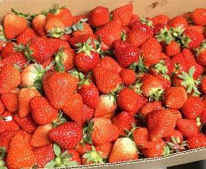今年も大量のイチゴをもらいました。