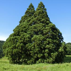 2019/7/13(土) 小杉の大杉(トトロの木) 山形県