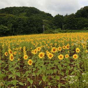 2020/8/16(日) ひまわり畑プロジェクト水神ポイント 岩手県