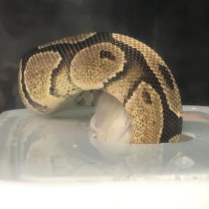 【閲覧注意】蛇のお食事タイム