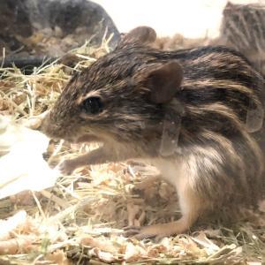 ゼブラマウスの繁殖と雌雄判別