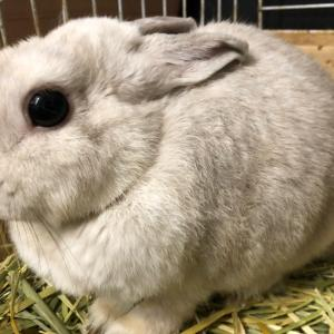 ウサギさん、爪切られてスッキリ
