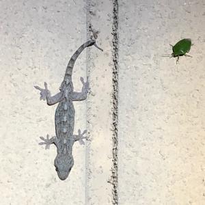 夜の爬虫類観察へ