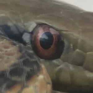 ヘビ採集の話し