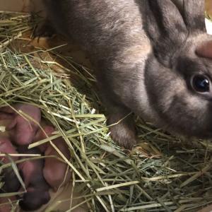 ウサギさんの出産、子育て観察