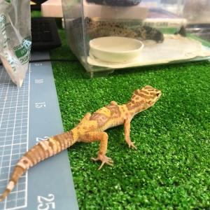 爬虫類メンテと餌やりとお勉強日和