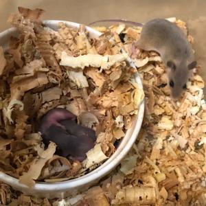 アフリカチビネズミが殖えました