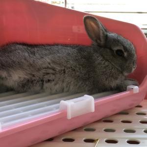 店番子ウサギ