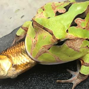 カエルちゃんのお食事
