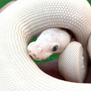 入荷後即売れの白蛇