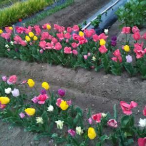 花と畑と戯れる〜〜〜 //  教室再開予定5月15日!!