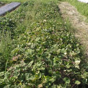 自然栽培のべにはるか 収穫!
