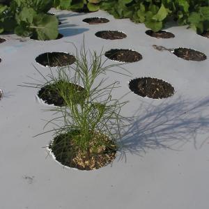 クミン栽培は、難しい…