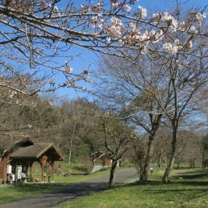 桜の開花が遅い