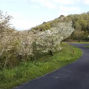 遊木の森  山桜が満開です
