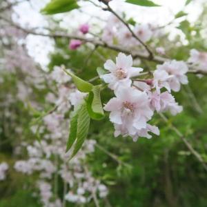 桜はもう少し楽しめます