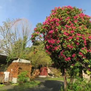 この花の木は牡丹ですか芍薬ですか