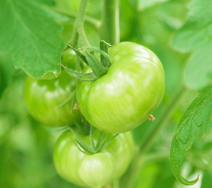 療育園での野菜作りの必要性【自閉症児保育】