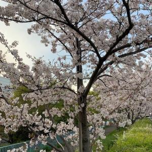 最後の桜と第二の故郷の隠れ家カフェ