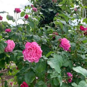 春の薔薇を偲んで【花フェスタ記念公園】