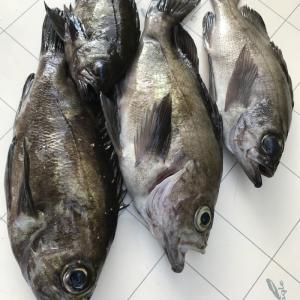 知多半島 メバル釣り