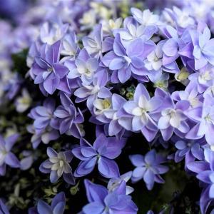紫陽花と四萬部寺①。秩父。