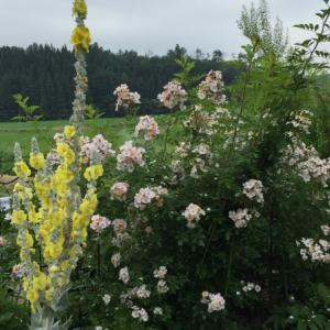 6月の庭  雨の合間に