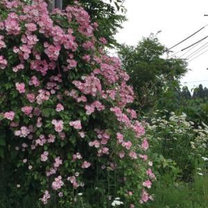 6月の庭  バラ