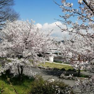 京の桜 2020 半木の道(ながらぎのみち)の対岸のソメイヨシノ