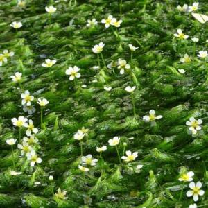 京都府立植物園 4 梅花藻